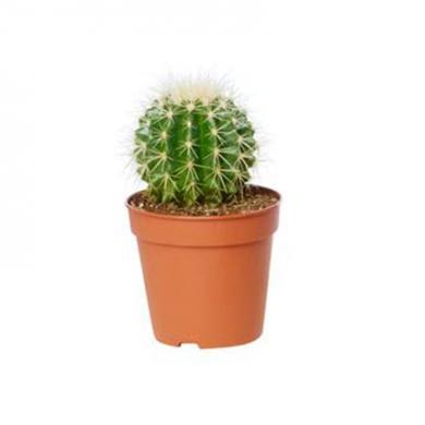 pianta-grassa3