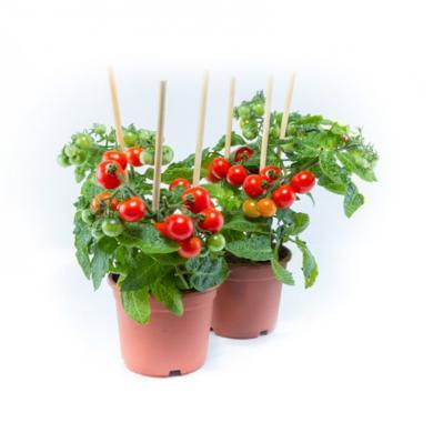 pomodori-ciliegino